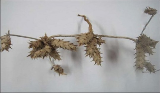 Dried plant of Blepharis sindica T. Anders showing dried fruits and stem