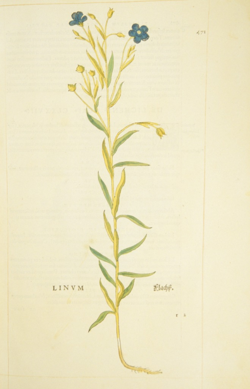 <p>Hand-colored woodcut of flax.</p>