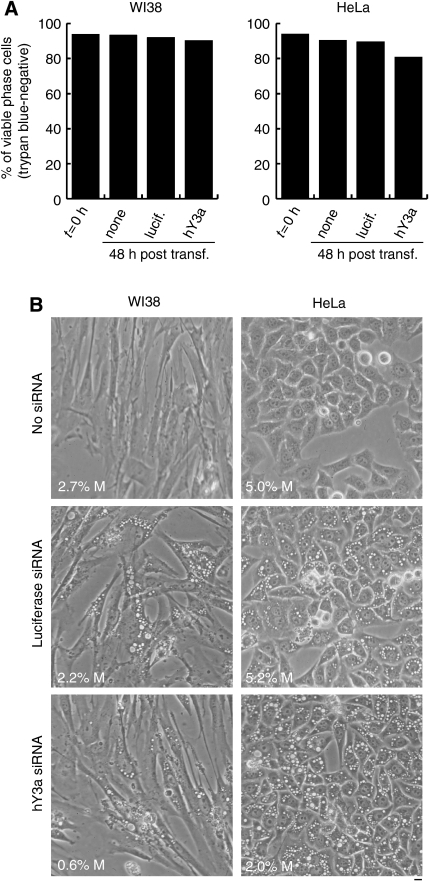 Depletion of hY3 RNA is cytostatic and does not cause cell death. (A) Cell viability assay. RNAi was performed on WI38 lung fibroblasts and HeLa cervical carcinoma cells. At 0 h and 48 h post transfection with the indicated siRNAs, percentages of viable cells were determined by measuring exclusion of the dye, trypan blue. (B) Cell morphology. Representative phase contrast micrographs of cells are shown at 48 h after transfection. The mitotic index (%M) for each of these cell populations was measured by counting >800 cells per sample and it is indicated at the bottom left of each field. Scale bar, 10 μm.