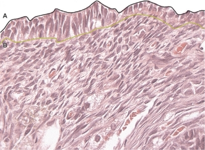 Photomicrography showing the cortical region of an ovary in 1.25 mm extension. Letters indicate the delimitation applied to histomorphometric parameters. A) tracing along the superficial epithelial cells. B) tracing along the epithelium-stroma interface. Staining: H&E. Magnification: 400X