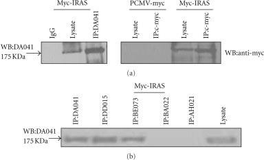 Analysis of immunoprecipitates revealed that the IRAS mAbs specifically recognized the native state of the IRAS protein. The HEK293 cells were transiently transfected with the empty vector PCMV-myc (negative control) and PCMV-myc-IRAS. Whole cell lysates were prepared and immunoprecipitated with the c-myc mAb or the mAbs DA041, DD015, BE073, BA022, and AH021. Immunoprecipitation of the same lysates using mouse normal IgG did not result in the detection of any protein species. Immunocomplexes were analyzed by western blot with indicated antibodies.