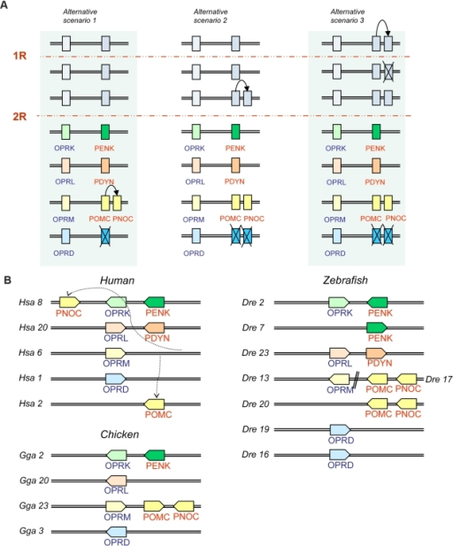 Proposed evolutionary history and the present locations for the opioid peptide and receptor genes.A: Proposed evolutionary history for the opioid peptides and receptors by genome and local duplications. The timing of the duplication that generated PNOC and POMC from their common ancestor is still unresolved and three different scenarios are presented. B: The present locations of the opioid peptide and receptor genes in human, chicken and zebrafish. Several gene families in these chromosomal regions have a similar evolutionary history, see Fig. 6 and Table S2. Abbreviations: PENK preproenkephalin, PDYN preprodynorphin, PNOC preproorphanin and POMC proopioimelanocortin, OPRM opioid mu receptor, OPRD opioid delta receptor, OPRK opioid kappa receptor and OPRL orphanin receptor.