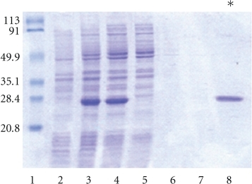 SDS-polyacrylamide gel  of Coomassie blue stained fractions during purification under nondenaturing conditions of rHcp26/23. Lane 1: MW markers in kDa; 2: uninduced E. coli culture; 3: induced E. coli culture;  4: starting sample; 5: unbound fraction; 6: eluate with buffer I (without imidazole); 7: eluate with  20 mM imidazole; 8: eluate with 250 mM imidazole.(*) purified rHcp26/23.