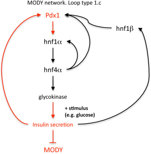 Key pathway involved in MODY diabetes. The pathway components highlighted in red illustrate that the basic network structure is of type 1.c, with a subnet of type 1.c embedded in a larger network of the same type. The disease type that results from haploinsufficiency of each gene is shown in parentheses.