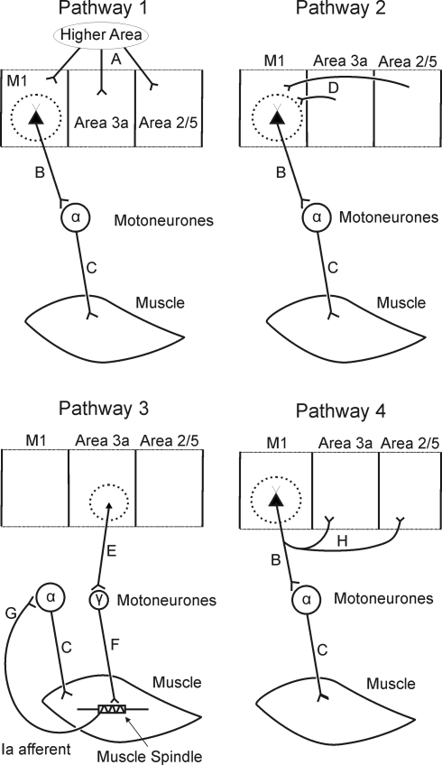 Schematic showing possible pathways underlying coherence between S1/area 5 and EMG. Lettered labels are referred to in text.