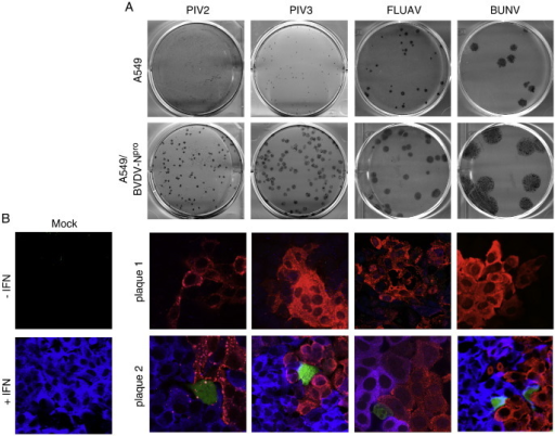 Heterocellular induction of the IFN-β promoter in developing plaques of PIV2, PIV3, FLUAV and BUNV. (A) PIV2, PIV3, FLUAV and BUNV form larger plaques on A549/BVDV-Npro cells (that cannot to produce IFN) compared to parental A549 cells (which can produce and respond to IFN). (B) At 2 days p.i. some, but not all, PIV2, PIV3, FLUAV and BUNV plaques contain a few cells in which the IFN-β promoter has been activated. A549/pr(IFN-β).GFP cells grown on coverslips were infected at an moi of 0.001 pfu/cell. At 2 days p.i. the cells were fixed and immunostained with anti-NP and anti-MxA antibodies. GFP-positive cells (green), MxA-positive cells (blue/purple) and infected cells (red) were visualised by fluorescence microscopy. The presence of the nuclei in the merge images was visualised by DAPI staining. Note that expression of GFP always correlated with whether the uninfected cells surrounding the plaque were positive for MxA; if a plaque contained a GFP-positive cell the surrounding cells were positive for MxA, if not they were negative.
