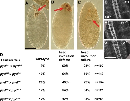 pydMZ mutants have defects in head involution but do not have serious deficits in Notch signaling. (A–C) Cuticles of pydMZ mutant embryos. (A) Example of wild-type phenotype, with intact head skeleton (arrow). (B) Example of defects in the head skeleton, indicative of defects in head involution. (C) Example of complete failure of head involution. (D) Percentages of dead embryos in each phenotypic class for different allelic combinations of pyd alleles. (E–G) Central nervous system revealed by phalloidin staining for actin. pydMZ mutants do not exhibit obvious nervous system hypertrophy, although some had modest defects in axon architecture (G). Scale bars, 75 μm.