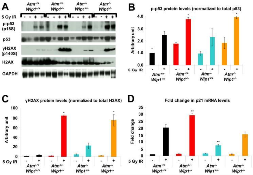 Absence of Wip1 enhances p53 and DNA damage responses in Atm  mice(A) DNA damage-induced phosphorylation of p53 and H2AX is enhanced in thymic tissues of mice lacking Wip1. Atm+/+Wip1+/+, Atm−/−Wip1+/+, Atm+/+Wip1−/−, and Atm−/−Wip1−/− mice were treated with 5 Gy of IR. Six hours after radiation, thymus tissue was harvested from each mouse. Protein lysates from individual mouse thymi were subjected to Western blot analysis with antibodies specific for the indicated proteins or their phosphorylated forms. (B) Quantitation of p53 phosphorylation at serine 18 in thymus lysates from untreated and IR-treated Atm+/+Wip1+/+, Atm−/−Wip1+/+, Atm+/+Wip1−/−, and Atm−/−Wip1−/− mice. (C) Quantitation of H2AX phosphorylation (γ-H2AX) at serine 140 in thymus lysates from untreated and IR-treated Atm+/+Wip1+/+, Atm−/−Wip1+/+, Atm+/+Wip1−/−, and Atm−/−Wip1−/− mice. (D) Quantitation of of p21 RNA expression in unirradiated and irradiated Atm+/+Wip1+/+, Atm−/−Wip1+/+, Atm+/+Wip1−/−, and Atm−/−Wip1−/− mouse thymi by real-time PCR. For each of the genotype/radiation cohorts, results were calculated from four different animals and averaged for the graphs. Only two animals for each genotype radiation cohort are shown in Figure 2A, however. Asterisks (**P<0.01, *P<0.05) indicate significant differences in the magnitude of IR-induced increases compared to IR-induced increases in the wildtype mice.