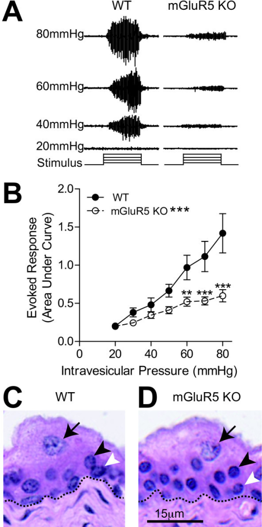 Reduced visceromotor response to bladder distension in mGluR5 knockout mice compared to wild type littermates. A. Representative VMR tracings from a WT and mGluR5 KO mice. As the intravesicular pressure is increased (20-80 mmHg), the EMG activity of the abdominal muscle (VMR) is also increased. The total amount of activity (area under the curve) during the 20 second distention is calculated to determine the evoked response at each pressure. B. mGluR5 KO (n = 18) mice have a significantly blunted VMR when compared to WT littermates (n = 15) +/- SEM,* p < 0.05, **p < 0.01, ***p < 0.001. 2-way ANOVA with Bonferroni post-hoc test. There were no obvious histological differences observed between mGluR5 KO mice (1D) and their WT littermates (1C). In both, the urothelium (above dashed line) has normal layers of superficial facet cells (arrows), intermediate cells (black arrowhead) and basal cells (white arrowhead).