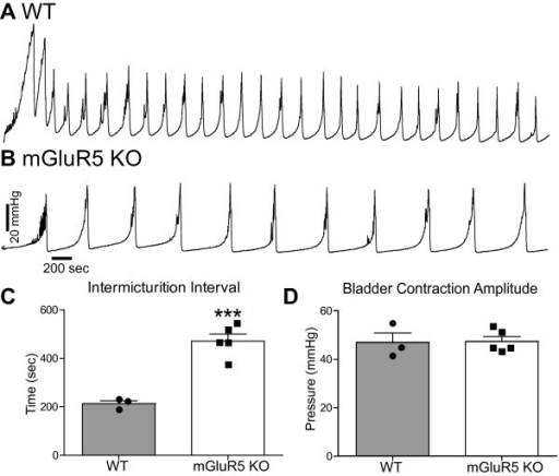 mGluR5 KO mice have an increased intermicturition interval. A. Representative urodynamic profile of a WT mouse. B. Representative urodynamic profile of a mGluR5 KO mouse. A-C. The IMI in WT mice was significantly smaller when compared to mGluR5 KO mice (WT baseline IMI 212.3 ± 12.94 N = 3, mGluR5 KO IMI baseline 471.5 ± 29.14 N = 5). D. However, there was no difference in the bladder contraction amplitude. ***P < 0.001 unpaired Student's t-test compared to WT IMI.