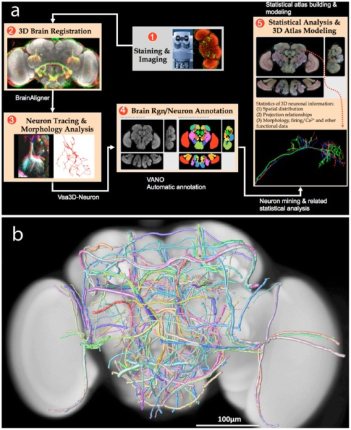 A pipeline of image analysis and data mining tools for building the neuronal atlases of fruit fly brains.(a) A flowchart of the key steps in building a fruit fly brain atlas. (b) A 3D digital atlas of 269 stereotyped neurite tracts reconstructed from GAL4-label fruit fly brains [19]. Pseudo colors are used to distinguish different tracts. The width of each tract equals its spatial divergence.