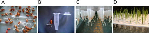 Seed germination and plant cultivation. A. Barley seeds were germinated in the dark at room temperature. B. After 72 h, seedlings that had three to five roots of 1.5 to 2.0 cm length and that had not yet started to extend the shoot were selected. Each seedling was inserted into a 1.5 ml reaction tube (Eppendorf, Hamburg) that was cropped at the bottom. C. The tubes with the seedlings were subsequently plugged into the perforated trays and placed on top of the boxes. D. Throughout the experiments the roots plunged into the nutrient solution whereas plant shoots grew on top of the tray.