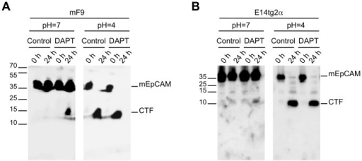 Cleavage of endogeneous mEpCAM.Proteolytic cleavage of mEpCAM was addressed in mF9 (A) and E14TG2a (B) cells using membrane assays at pH 7 and pH 4. Membranes of mF9 and E14TG2a cells were incubated for 0 h and 24 h at 37°C and EpCAM fragments were detected in immunoblots using a mEpICD-specific antibody in combination with an HRP-conjugated secondary antibody. Inhibition of the γ-secretase complex was achieved upon treatment with DAPT where indicated. Shown are the representative results of three independent experiments.