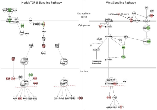 Zic3-regulated genes in the Nodal and Wnt signaling pathways.Schematic diagram of the Nodal/TGF-β and Wnt signaling pathways generated by the Ingenuity Pathway Analysis Software. Genes differentially regulated by Zic3 are shown in colour – red for upregulation and green for downregulation of their expression patterns in the microarray data.