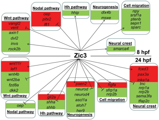 Candidate target genes regulated by Zic3 at 8 hpf and 24 hpf developmental stages.Target genes are grouped based on their signaling pathway or functions. Changes in expression in microarray are represented by red and green backgrounds for up- and down-regulation respectively.