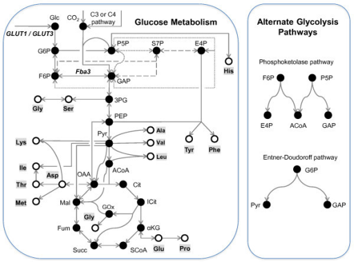 Principal pathways for the mixotrophic metabolism of glucose and CO2 to amino acids in Pt. Central carbon metabolic pathways convert glucose and/or CO2 (fixed photosynthetically or anaplerotically) to the 15 amino acids (metabolites shown as open circles) experimentally detected by GC-MS in hydrolysates of Pt cell pellets. In most organisms, glycolysis proceeds via the EMP pathway. However, two alternate glycolytic pathways of bacterial origin were found in this organism's annotated genome. Of these, the phosphoketolase (PKP) enzyme converts phosphorylated pentose and/or hexose sugars to glyceraldehyde 3-phosphate/erythrose 4-phosphate and acetylphosphate, which is then converted to either acetate via acetate kinase, or acetyl-CoA via phosphate acetyltransferase. Both phosphorylated pentose and hexose sugars are shown as substrates for the PPK pathway because the enzyme specificity in Pt is unknown. The second alternative pathway (ED) uses two enzymes to convert 6-phospho-D-gluconate to pyruvate and glyceraldehyde 3-phosphate. Differences in the carbon atom rearrangements of the EMP, PPK and ED pathways become evident in the MIDs of glycolytic amino acids.