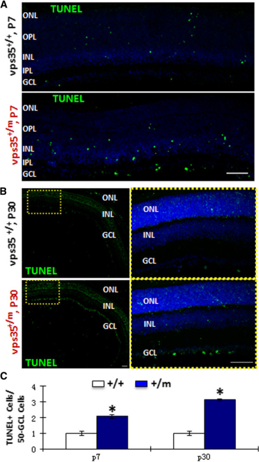 Increased TUNEL positive RGCs in vps35+/m retinas. TUNEL staining analysis was carried out in cross-sections of retinas from P7 (A) and P30 (B) vps35+/+ and +/m mice . GCL, ganglion cell layer; IPL, inner plexiform layer; INL, inner nuclear layer; OPL, outer plexiform layer; ONL, outer nuclear layer. Scale bar, 50 μm. The TUNEL+ cells in GCL were quantified and showed as mean +/- SEM (n = 3) in (C). *, P < 0.05.