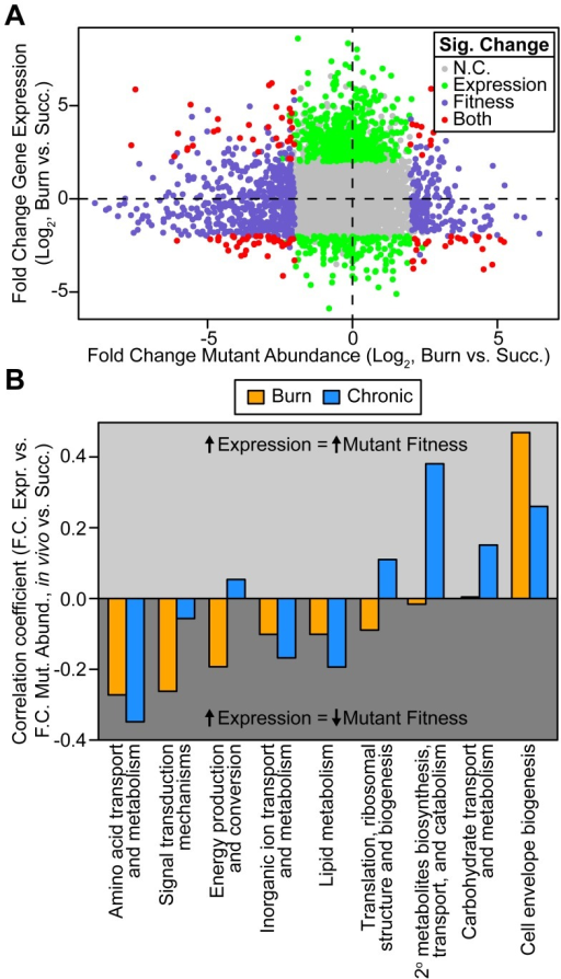 Genome-wide P. aeruginosa gene expression and knockout fitness in wound infection are not correlated.(A) Log2-transformed fold change gene expression (y axis) and knockout abundance (x axis) of P. aeruginosa in murine burn wound infections as compared to growth in MOPS-succinate (Succ.). Significant (Sig.) changes in gene expression (fold change ≥4, P<0.01, negative binomial test) and mutant abundance (fold change ≥4, P<0.05, negative binomial test) are colored as shown (N.C., no change). (B) Spearman rank correlation coefficient between fold change expression and fold change mutant abundance in the burn wound-MOPS-succinate and the chronic wound-MOPS-succinate comparisons (x axis) for COG categories with more than 10 differentially regulated members and an associated correlation greater than 0.1 or less than −0.1 (y axis). Only genes with transposon-derived Tn-seq reads were considered.