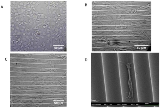 Images of BAOECs on different substrates.(A) Microscope image of cells on flat PDMS substrate after 24 h; (B) Microscope image of cells on 20 µm spacing, 6.6 µm height micro-wave after 24 h; (C) Microscope image of cells on the micro-wave after 48 h; (D) SEM image of a BAOEC on micro-wavy substrate after 24 h. In Fig. D, the cell looks smaller than in Fig. A–C because of the dehydration process in preparation for SEM.