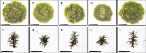 Vegetative development of the rad51bΔ mutants. Morphology of colonies and gametophores of WT (A, B), double rad51-1-2? mutant (C, D), two independent subclones of a rad51bΔ mutant (E, F and G, H) and srs2? mutant (I, J). The picture was taken after 30 days of growth. Scale bar = 5 mm.