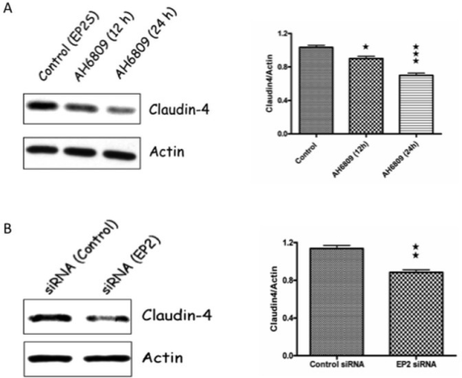 Pharmacological inhibition and/or siRNA silencing of EP2 receptor in EP2S cells decrease claudin-4 expression.(A) EP2S cells that reached confluence on regular culture plates were exposed with 50 µM of AH6809 (EP2 antagonist) for the time indicated and the cell lysate analyzed for claudin-4 expression by western blotting. Actin used as the internal control for the densitometry analysis. (B) EP2S cells seeded on culture plates that reached 60 percent confluence were transfected with either EP2 receptor or control siRNA. Cells collected after 48 h were checked for claudin-4 expression by western blotting and quantified by densitometry analysis for claudin-4 expression. ★ p<0.05; ★★ p<0.01 and ★★★ p<0.001.