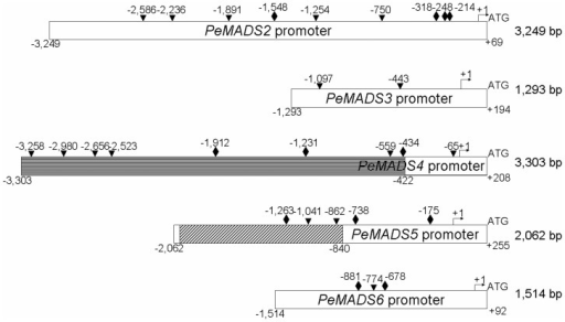 "Promoter sequences of PeMADS2∼6 and the putative CArG boxes.Length of promoter sequences of PeMADS2, PeMADS3, and PeMADS6 were 3,249, 1,293 and 1,514 bp, respectively. The promoter sequence of the PeMADS4 was extended from −422 bp to −3,303 bp (horizontal line box), and the original fragment of −2,121 to −840 bp of PeMADS5 promoter was replaced by a 1,227-bp fragment (diagonal line box). The rhombus and the triangles indicate the putative CArG boxes predicted by consensus CC(A/T)6GG and C(A/T)8G motifs, respectively. ""+1"" means the transcription start site and ATG was the translation start site. The lengths of the promoters are show from the transcription start site to the upstream sequences."