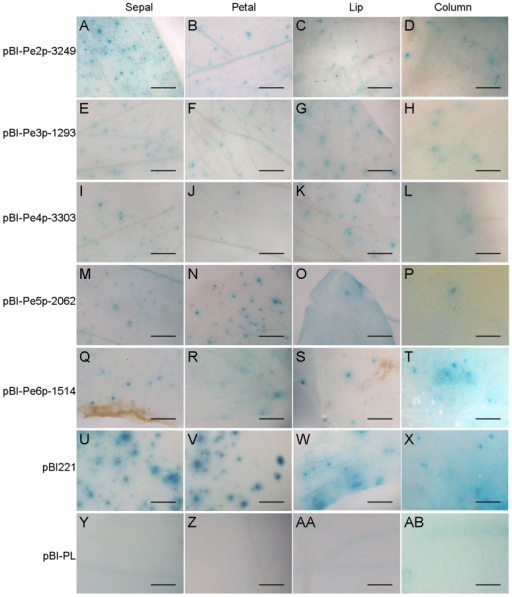 GUS histochemical staining for the promoter activities of PeMADS2∼6.Histochemical assay of GUS expression in floral organs shown in the order of pBI-Pe2p-3249 (A–D), pBI-Pe3p-1293 (E–H), pBI-Pe4p-3303 (I–L), pBI-Pe5p-2062 (M–P), pBI-Pe6p-1514 (Q–T), pBI221 (U–X) and pBI-PL (Y-AB). Constructs were bombarded into four independent floral buds, and results are representative of three independent bombardment experiments. Scale bar  =  0.5 mm.