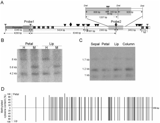 Methylation status in the promoter and 5th intron regions of PeMADS4.(A) Locations of the probes used for Southern blot analysis and methylation status in the promoter (B) and 5th intron (C) regions of PeMADS4. Gray, black, and white boxes indicate the promoter, exon, and intron regions of PeMADS4 gene, respectively. The rhombus and black triangles are the predicted CArG boxes. The white triangles point to the HpaII/MspI sites. Probes used in this study are shown in gray located in the 5′ UTR (Probe 1) or in the 5th intron (Probe 2). (B) Southern blot analysis was performed with genomic DNA extracted from petal and lip of P. equestris, digested with methylation-sensitive enzymes, HpaII (H) and MspI (M), and hybridized with probe 1. (C) Southern blot analysis was performed with the genomic DNA extracted from sepals, petals, lips and columns of P. equestris, double-digested with DraI and HpaII, and hybridized with probe 2. Probe 2 was a 2,136-bp fragment between three DraI restriction enzyme cleavage sites and contained two HpaII site. (D) Bisultife sequencing for the methylation status within the promoter region of PeMADS4.
