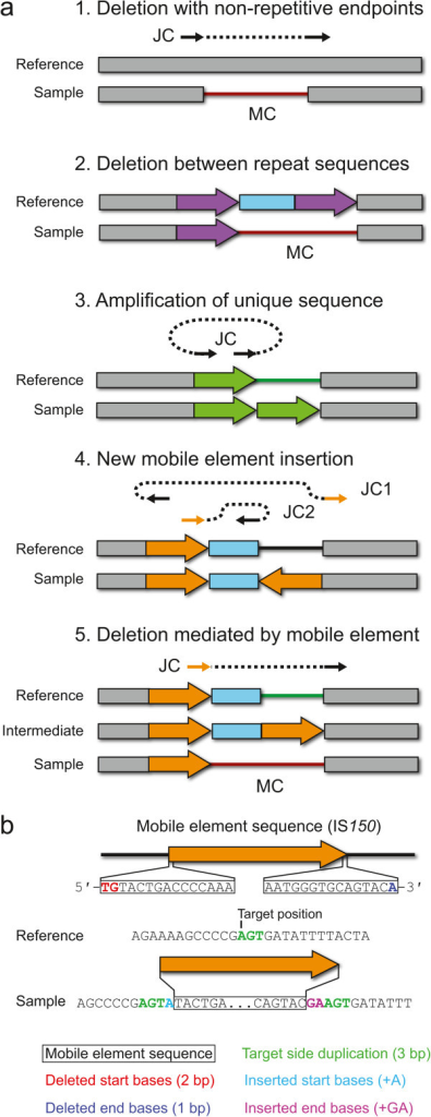 Predicting structural variation from new junction and missing coverage evidence. a) Types of structural variation for which breseq can predict precise mutational events from new junction sequences (JC) and missing read coverage (MC) evidence are shown in the context of the reference and mutant genomes. For JC evidence, the matched sequence on each side is shown as a solid arrow with a dashed line connecting the two sides. Orange JC arrows indicate that this side of a new sequence junction maps equally well to multiple locations in the reference genome (i.e., the location is ambiguous). Details for the procedure used in each case are described in the text. b) Mobile element insertions may require additional fields to describe the precise sequence change caused by insertion of a new copy. These may include a target site duplication and deleted or inserted bases on the margins of the new element copy, as shown.