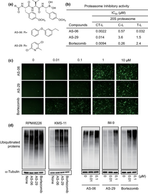 Inhibition of the proteasome by tyropeptin-boronic acid derivatives. (a) Structures of tyropeptin-boronic acid derivatives. (b) Proteasome inhibitory activity in vitro. Proteasome activities were determined by the Proteasome-Glo Assay System using purified human erythrocyte-derived 20S proteasome. (c) Accumulation of proteasome-sensitive fluorescent proteins. HEK293PS cells were incubated with inhibitors for 18 h, and fluorescent protein levels were monitored by fluorescence microscopy. (d) Accumulation of ubiquitinated proteins in human multiple myeloma cells. RPMI8226, KMS-11 and IM-9 cells were incubated with inhibitors for 6 or 24 h, and ubiquitinated proteins were detected by western blotting.