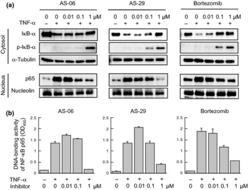 Inhibition of NF-κB activation. (a) Inhibition of the degradation of IκB-α and nuclear translocation of NF-κB p65. RPMI8226 cells were preincubated with inhibitors for 2.5 h, and the cells were further incubated with 20 ng/mL TNF-α for 30 min. (b) Suppression of the DNA-binding activity of NF-κB. Columns, mean of triplicate determinations; bars, SD.