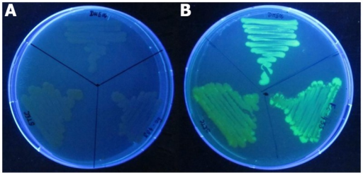 Wild (A) and EGFP tagged (B) E. coli strains used in the present study.The pGreenTIR conferring ampicillin resistance and enhanced green fluorescence under UV was transformed to all the three strains, viz., DH5α, MTCC433 and O157-TNAU.