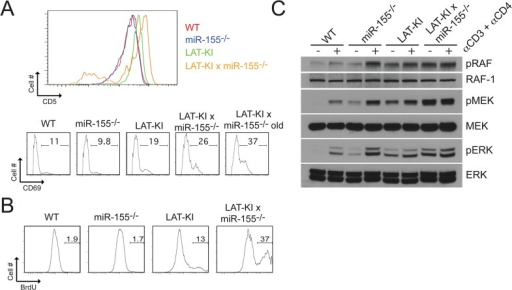 miR-155 deficiency results in increased basal CD4+ T cell activation and proliferation in LAT-KI mice.(A) CD5 and CD69 surface marker expression as measured by flow cytometry in CD4+ lymph node T cells of mice of the indicated genotypes. Ages of the mice were the same as in Fig 1C. The results are representative of 9 experiments. (B) In vivo BrdU labeling. CD4+ lymph node T cells from mice previously injected with BrdU. Ages of the mice were 10 wks (WT) and 8 wks (other 3 genotypes). The results are representative of 3 experiments. (C) Negatively selected CD4+ T cells from the indicated genotypes were stimulated with αCD3ε/CD4 (10 μg/ml, 3 min.). Ages of the mice were 10 wks (WT, miR155-/-), 11 wks (LAT-KI), and 12 wks (DM). SDS whole cell lysates (WCLs) were analyzed by western blotting (WB). A representative WB is shown (n = 3).