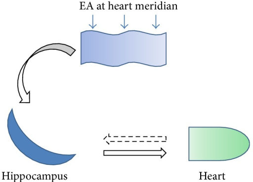 A schematic illustrates the potential function of hippocampus involved in the protection of EA stimulation at heart meridian on AMI-induced heart dysfunction. AMI injury was reflected by the activation of hippocampal CA1 neurons. Reversely, EA stimulation could send signal to hippocampus and inhibit the activation of neurons. Subsequently, the balance between sympathetic nerve system and vagus nerve system was reestablished to ameliorate heart function.