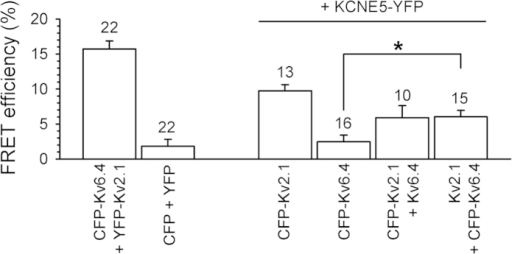 KCNE5 associates with both Kv2.1 homotetramers and Kv2.1/Kv6.4 heterotetramers.Average FRET efficiencies determined after co-expression of CFP- and YFP- labeled subunits. CFP-Kv6.4 + YFP-Kv2.1 and CFP + YFP combinations represent the positive and negative control, respectively. Note the increased FRET efficiency after co-expression of CFP-Kv6.4 with YFP-KCNE5 and untagged Kv2.1 compared to the CFP-Kv6.4 + YFP-KCNE5 co-expression; n = number of cells; *p < 0.05.