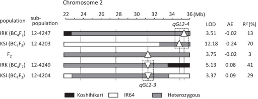Graphical genotypes and positions of the QTLs for grain length that were detected in the region from 30 to 36 Mb on chromosome 2 in the F2 population and in two BC4F2 sub-populations in the genetic background of Koshihikari (IRK) or IR64 (KSI). Black boxes, homozygous for IR64; white, homozygous for Koshihikari; gray, heterozygous. AE, additive effect. Upward-pointing triangles (△) indicate that the IR64 alleles increase values, and downward-pointing triangles (▽) indicate that the IR64 alleles decrease values.