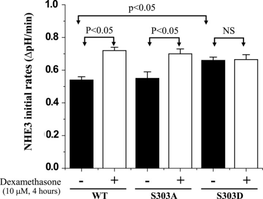 Expression of the NHERF2–S303D mutant in OK cells does not allow the NHERF2-dependent dexamethasone stimulation of NHE3 activityNHE3 activity was measured in OK cells transfected with NHERF2–WT, S303A and S303D and exposed to dexamethasone, 10 μM, 4 h. Dexamethasone stimulated NHE3 activity equally in cells transfected with WT and NHERF2–S303A but not in cells transfected with NHERF2–S303D. Results are means ± S.E.M. of four separate experiments. P-values compare dexamethasone stimulation of NHE3 in WT NHERF2 expressing cells with that in cells expressing NHERF2–S303A and S303D (paired t tests).