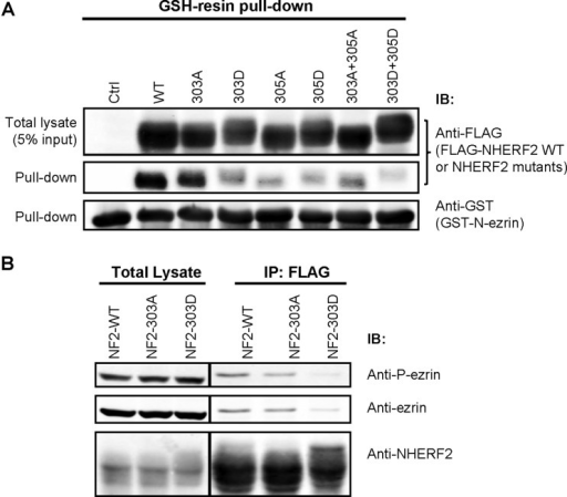 Binding of NHERF2 to ezrin is modulated by phosphorylation at Ser303(A) Pull down was performed by mixing 3 μg of purified GST-N–ezrin and 1.5 mg cell lysate prepared from HEK-293A cells transiently transfected with FLAG–NHERF2–WT or mutants (S303A, S303D, T305A, T305D, S303A/T305A, S303D/T305D). The non-transfected HEK293 cell was used as a negative control (Ctrl). Samples were analysed by Western blot with antibodies against FLAG and GST. (B) HEK-293A cells transiently transfected with FLAG–NHERF2–WT or S303A or S303D mutant, were immunoprecipitated with anti-FLAG M2 magnetic beads. IP/co-IP samples were analysed by Western blot with antibodies against FLAG, ezrin and P-ezrin.