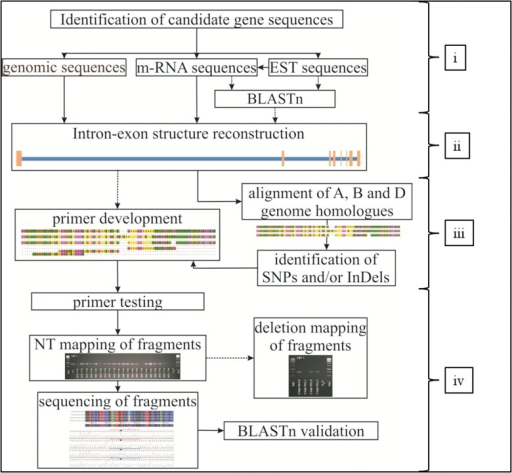 Workflow of development gene specific primers and PCR fragments in wheat.The method comprises four steps, i.e. (i) identification of genomic and coding sequences (CDS) of candidate genes, (ii) intron- and exon-structure reconstruction, (iii) identification of wheat A, B and D sub-genome sequences and primer development on sequence differences between the three sub-genomes, and (iv); primer and PCR fragment testing for functionality, correct size and localisation. The dashed lines show optional applications.