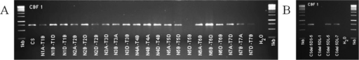 Example of fragment localisation from Cbf1 via NT- and deletion-lines.(A) The missing PCR fragment on NT-line N5D-T5B indicated the location on wheat chromosome 5D. (B) The missing PCR fragment on Csdel 5DL-1 indicated the location on wheat long arm of chromosome 5D between the deletion segments 1 and 5.