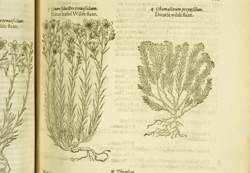 <p>Separate woodcuts of the two types of flax, showing the stalks, leaves, and roots.</p>