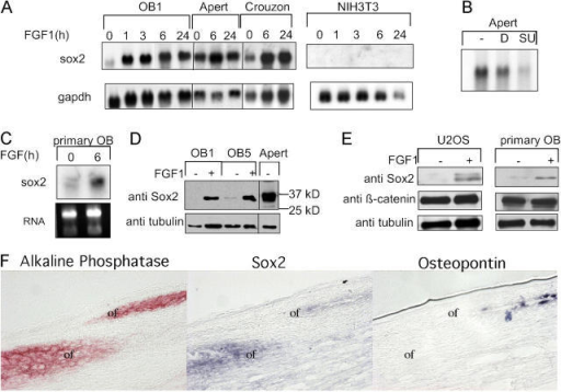 Expression of Sox2 in osteoblasts. (A) mRNA for Sox2 is induced by FGF. OB1, AP, CR, or NIH3T3 cells were grown in the presence of serum and treated with 10 ng/ml FGF1 and 5 μg/ml heparin for the indicated times and analyzed by Northern blot with a 32P-labeled Sox2 cDNA (Yuan et al., 1995). Gapdh probe was used as a control. (B) Northern analysis of Sox2 expression in AP cells treated with DMSO (D) or SU5402 (SU) for 24 h. (C) Sox2 mRNA is induced by FGF1 in murine primary calvarial osteoblasts. (D and E) Western analysis of Sox2 induction by 24-h FGF1 treatment (+) in OB1 and OB5 osteoblasts and in U2OS and primary calvarial osteoblasts. (F) Serial sagittal sections through the coronal suture of a wild-type mouse at P1 is shown (frontal bone at left, parietal bone at right; of, osteogenic front). ALP expression was detected by enzymatic histochemistry, whereas Sox2 and Osteopontin RNA expression was detected by in situ hybridization using anti-sense riboprobes labeled with digoxigenin-UTP. ALP is present in immature and maturing osteoblasts, Sox2 expression is restricted to the immature osteoblasts of the osteogenic fronts. Osteopontin is expressed in maturing osteoblasts.