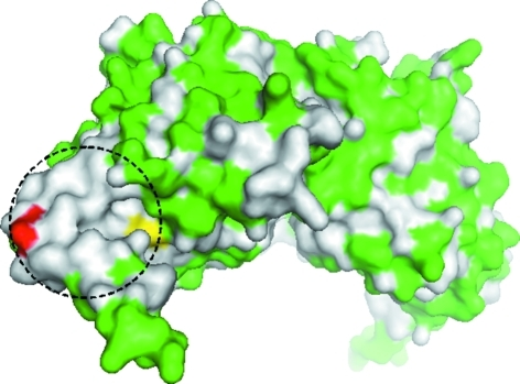 Molecular surface of the type-1 dimer of 1510-N K138A viewed from almost the same direction as Fig. 2 ▶. Polar residues (Asp, Glu, His, Lys, Arg, Gly, Ser, Thr, Cys, Asn and Gln) are shown in green, and hydrophobic and aromatic residues are in white. Ser97 is shown in yellow and Ala138 is in red. The dashed circle indicates the hydrophobic region around the active site.