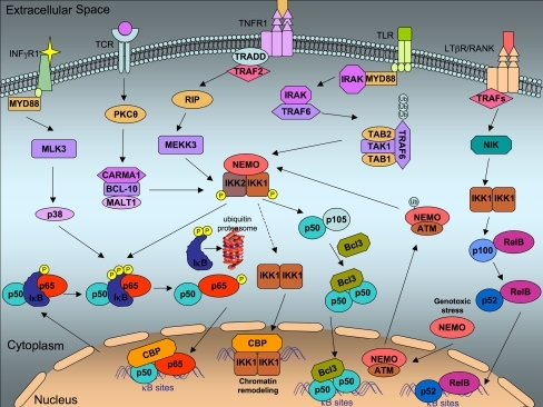 An outline of major signaling pathways leading to NF-κB activation. The best characterized NF-κB activators include TCR signaling, TNF, TLR, LTβR, and INF-γR signaling. Activation of TNF receptor results in its trimerization and recruitment of the adaptor protein TRADD, which, in turn, interacts with TRAF2. Consequently, RIP and MEKK3 link TNF signaling to IKK activation. LPS binding to TLRs activates an intracellular signaling cascade that involves recruitment of MYD88 and IRAK, phosphorylation of TRAF6, which then signals through the TAB2–TAK1–TAB1 complex to activate the IKK complex. In peripheral T cells, T cell stimulation results in PKCθ activation, which signals via the CARMA1–BCL-10–MALT1 complex to activate the IKK complex. INF-γR1 can recruit MyD88, and through MLK3 activates p38. Convergence point for most of the above cascades is the activated IκB kinase (IKK) complex, which consists of three subunits: IKK1, IKK2, and NEMO. Upon IKK activation, IκBα is phosphorylated and degraded through the ubiquitination pathway, rendering NF-κB free to translocate to the nucleus and bind to its target genes (canonical pathway). In other cases, IKK stimulation leads to p105/p50 activation and subsequent binding of Bcl3 to the p50/p50 homodimers. The p50/p50-Bcl3 complex translocates to the nucleus and induces NF-κB dependent transcription. Some activators such as BAFF or LPS can activate the non-canonical pathway. Here, activation of NF-κB-inducing kinase (NIK) results in homodimerization of IKK1, which then phosphorylates the p100 NF-κB subunit, inducing its proteolytic processing to p52. Besides their NF-κB-dependent effects, more functions independent of the NF-κB pathway have been described for IKKs. IKK1 can phosphorylate histone H3, through interaction with the transcriptional co-activator CBP. NEMO has also the ability to translocate to the nucleus following DNA damage. Nuclear NEMO is sumoylated and then ubiquitinated, in a process that depends on ATM kinase. Then, NEMO together with ATM translocate to the cytoplasm where it activates IKK2. TCR T cell receptor, TNFR tumor necrosis factor receptor, TLR Toll-like receptor, INF-γR1: interferon-γ receptor 1, RANK receptor activator of NF-κB, PKCθ protein kinase Cθ, CARMA1 caspase-associated recruitment domain-1, BCL-10 B cell lymphoma 10, MALT1 mucosa-associated lymphoid tissue lymphoma translocation gene 1, MEKK3 MAP/ERK kinase kinase 3, RIP receptor-interacting protein, TRADD TNF receptor associated via death domain, TRAF TNF-receptor-associated factor, IRAK interleukin-1-receptor-associated kinase, MYD88 myeloid differentiation primary response gene 88, TAK1 transforming-growth-factor-β-activated kinase 1, TAB1 TAK1-binding protein 1, TAB2 TAK1-binding protein 2, ATM ataxia-telangiestasia-mutated kinase, IκB inhibitor of κB, IKK IκB kinase, NEMO NF-κB essential modulator, Ub ubiquitin, NIK NF-κB-inducing kinase, MLK3 mixed-lineage kinase 3, CBP CREB-binding protein, BCL-3 B cell lymphoma 3, TCR T cell receptor, TNF tumor necrosis factor, LTβR lymphotoxin-β receptor, INF-γR interferon-γ receptor