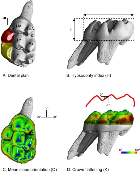 Topographic descriptors of the muroid molar tooth crown shape.A: Dental plans in Muroidea. The cricetine dental plan refers to first upper molar teeth which display the six following cusps: LaA (labial anterocone), LiA (lingual anterocone), Pa (paracone), Pr (protocone), M (metacone) and H (hypocone). The intermediary dental plan refers to the occurrence of one single supplementary lingual cusp (in red). The murine dental plan refers to the occurrence of two or more supplementary lingual cusps (in red and in yellow). The black arrow indicates the mesial and lingual sides of the tooth. B: Hypsodonty Index (H). l: length of the tooth crown. h: high of the tooth crown. H = h/l. C: Average orientation (O) of the lowest slope of the four main cusps of the muroid first upper molar. The orientations of the lowest slopes are observed thanks to a slope colour map with superimposed topographic contour lines (computed with Surfer for Windows). OPa: lowest slope orientation of the paracone. OPr: lowest slope orientation of the protocone. OM: lowest slope orientation of the metacone. OH: lowest slope orientation of the hypocone. O = (OPa+OPr+OM+OH)/4. D: Crown flattening index (K). K refers to the global shape of the crown topography (red line) and is calculated as the kurtosis of the distribution of the crown slope values provided for each node (black point) of the computed slope maps (3D slope colour map with superimposed topographic contour lines, computed with Surfer for Windows).