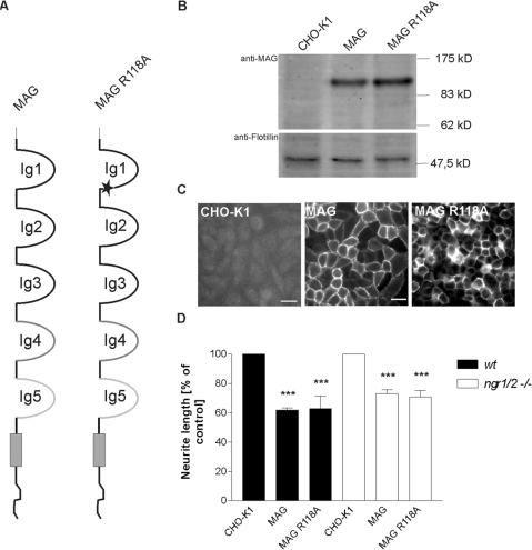 Inhibition of neurite outgrowth by a MAG mutant lacking the sialic acid binding site.(A) The name MAG R118A refers to a point-mutation within the sialic-acid binding domain of MAG (asterisk), that abolishes MAG binding to specific gangliosides. (B) Western Blot analysis of a CHO clone stably expressing MAG R118A. Ten micrograms of total protein lysate were loaded for each lane. Goat anti-MAG antibody was used to detect MAG; to reveal equal protein load, blots were incubated with anti-flotillin antibody. (C) Cell surface expression of full-length MAG and MAG R118A proteins by transfected CHO cells after FACS and clonal selection as revealed by live-staining with anti-MAG antibody. Scale bar 20 µm. (D) Analysis of neurite length of wildtype and ngr1/ngr2 double knock-out DRG neurons grown on CHO cell monolayers expressing full-length MAG or MAG R118A. Parental CHO cells served as the control substrate. Graph shows % neurite length on the different substrates±SEM. Three separate experiments were examined for each experimental condition, with 50 to 100 neurons measured for each substrate. *** represents P≤0.001 compared to CHO-K1, one-way analysis of variance with post-hoc Tukey test.