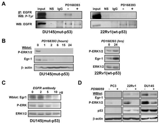 Constitutive activation of EGFR and ERK1/2 regulates Egr-1 expression(Panel A) DU145 and 22Rv1 cells were treated with PD168393 (2 μM) for 2 hrs. Cells were lysed and subjected to immunoprecipitation using anti-EGFR antibodies. Buffer alone (NS) or non-specific immunoglobulins (IgG) were negative controls. Whole cell lysates were loaded for positive control (input). (Panel B) DU145 (left) were treated with EGFR inhibitor PD168393 at 2 μM for the indicated times. 22Rv1 (right) were treated with PD168393 at 2 μM for 24 hrs.(Panel C) DU145 were incubated with increasing amounts of neutralizing anti-EGFR antibodies for 24 hours before lysis. (Panel D) Cells were treated with MEK inhibitor PD98059 for 2 hrs before lysis. All experiments were analyzed by western blot using the indicated antibodies. Actin or pan-ERK1 antibodies were used for loading controls. P-ERK: anti-phospho-ERK1/2; P-Tyr: anti-phospho-tyrosine.