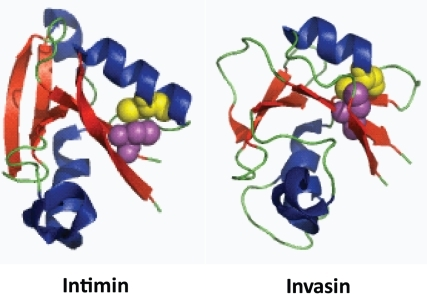 Structures of the C-terminal CLTD subdomains of the Intimin and Invasin passenger domains.The cysteine residues are depicted by spheres with the C-terminal cysteines shown as yellow spheres and the penultimate cysteine as purple spheres. The positioning of the cysteines and the resulting disulphide bonds may stabilize the binding surfaces of both Intimins and Invasins, allowing accurate interactions with their ligands.