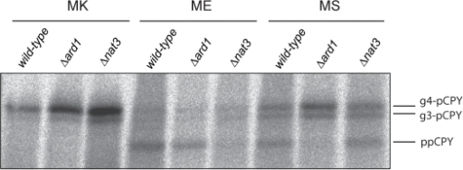 N-terminal acetylation blocks protein translocation.Translocation of wild-type, MS, and ME mutants of CPY was examined z(as inFigure 2B) inwild-type and Δard1 and Δnat3strains, which lack NatA and NatB activity, respectively. Data arerepresentative of three independent experiments.