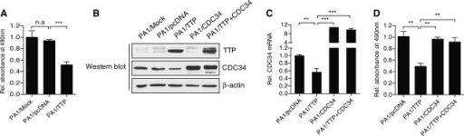 Transfection of CDC34 cDNA without the 3′-UTR (or overexpression of CDC34) attenuates the inhibitory effect of TTP on the growth of PA1 cells. (A) Overexpression of TTP suppresses the growth of PA1 cells. PA1 cells transfected with pcDNA6/V5-TTP or pcDNA6/V5 were seeded at 1.0 × 104 cells per well in 96-well plates. Cell viability was assessed at 24 h after seeding by measuring absorbance at 490 nm using a MTS cell proliferation assay. The values obtained from PA1/Mock cells were set to 1.0. The data represent the mean ± SD of three independent experiments (***P < 0.001). ns, not significant. (B–D) Transfection of CDC34 cDNA without 3′-UTR abrogates the suppressive effect of TTP on PA1 growth. PA1 cells were transfected with a combination of pcDNA6/V5-TTP and pCMVT2B/CDC34 for 24 h. (B) The levels of TTP and CDC34 proteins were measured by western blot assays. (C) CDC34 levels were measured by qRT-PCR. The levels obtained from PA1/pcDNA cells were set to 1.0. Data are presented as the mean ± SD (n = 3) (**P < 0.01; ***P < 0.001). (D) Cell viability was assessed by measuring absorbance at 490 nm using a MTS cell proliferation assay. The levels obtained from PA1/pcDNA cells were set to 1.0. Data are presented as the mean ± SD (n = 3) (**P < 0.01).